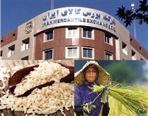 برنج طارم بورسی شد