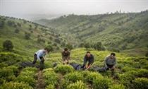 چای خشک در بورس کالا عرضه میشود