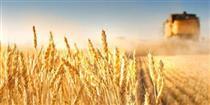عرضه بیش از ۳۴ هزار تن گندم در تالار محصولات کشاورزی