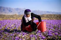 راهاندازی قرارداد اختیار معامله زعفران نگین سررسید اردیبهشت ۹۹
