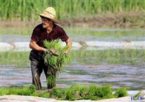 بوی خوش برنج طارم در بورس کالا به مشام می رسد
