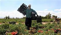 بیمه ۳۴هزار هکتار از مزارع قزوین در بانک کشاورزی