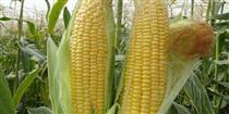 پیشنهاد وزارت کشاورزی برای عرضه ذرت و جو در بورس کالا