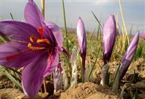 راه اندازی قرارداد آتی «زعفران پوشال معمولی»